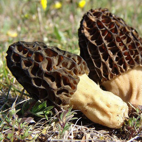 Black Morel Spores (Morchella Importuna)