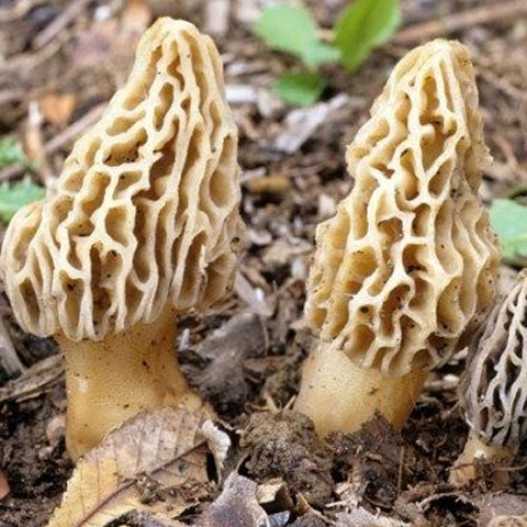 White Morel Spores (Morchella)